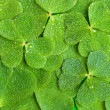Stock Photo: Texture of clover