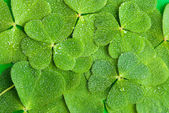 Texture of clover — Stock Photo