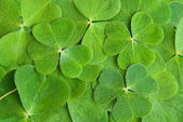 A texture from clover leaves — Stock Photo