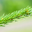 Stock Photo: A branch of fir with drop