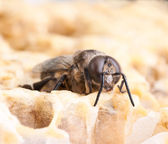Bee on a honeycell — Stock Photo