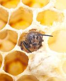 Bee macro — Stock Photo