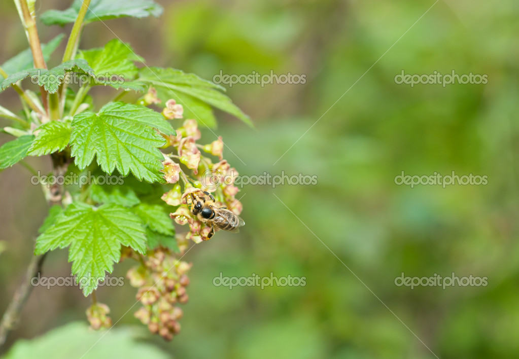A bee on a flower of red currants  Stock Photo #11128404