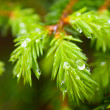 Fir green - Stock Photo