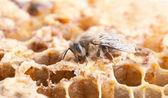 Bee on cell — Stock Photo