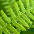 Fern on green — Stock Photo