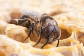 Bee oh a honeycell — Stock Photo