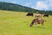 Cow on grassland — Stock Photo