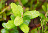 Plant of bilberry — Stock Photo