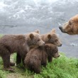 Grizzly bear cubs — Stock Photo #12204511