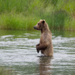 Stock Photo: AlaskBrown bear on hind legs