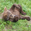 Alaskan brown bear cub — Stock Photo