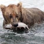 Alaskan brown bear with salmon — Stock Photo #12204568
