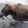 Alaskan brown bear with salmon — Stock Photo