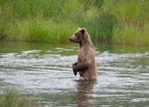 Alaskan Brown bear on hind legs — Stock Photo