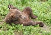 Alaskan brown bear cub — Stock Photo