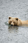 Young Alaskan brown bear — Stock Photo