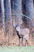 Whitetail buck — Stock Photo