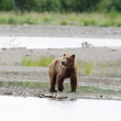 Stock Photo: Alaskbrown bear walking along shore