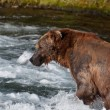 Stock Photo: Alaskbrown bear fishing for salmon
