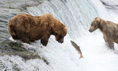 Alaskan brown bear — Stock Photo