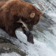Stock Photo: Alaskbrown bear catching salmon
