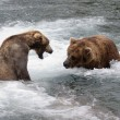 Alaskan brown bears fighting - Foto de Stock