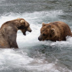 Alaskan brown bears fighting — Stock Photo #12318701
