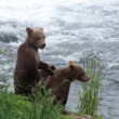 Stock Photo: Brown bear cubs along shoreline