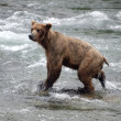 Stock Photo: Large Brown Bear fishing for salmon in river