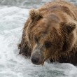 Alaskbrown bear looking for salmon — Stock Photo #12319090