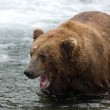 Alaskan brown bear with its mouth open — Stock Photo