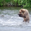 Stock Photo: AlaskBrown bear eating salmon