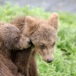 Stock Photo: Grizzly bear cubs