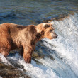 Alaskbrown bear fishing for salmon — Stock Photo #12319798