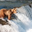 Alaskbrown bear fishing for salmon — Stock Photo #12319863