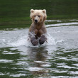 Alaskan Brown bear running through water — Stock Photo