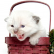 Two week old kitten in a basket — Stock Photo