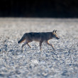 Coyote in a field — Stock Photo