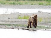 Alaskan brown bear walking along the shore — Stock Photo