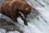Alaskan brown bear catching salmon — Stock Photo