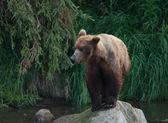 Alaskan brown bear standing on the shore — Stock Photo