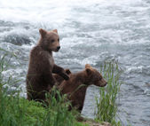 Brown bear cubs along a shoreline — Stock Photo