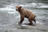 Large Brown Bear fishing for salmon in a river — Stock Photo