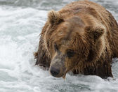 Alaskan brown bear looking for salmon — Stock Photo