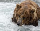 Alaskan brown bear looking for salmon — Stock Photo