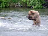 Alaskan Brown bear eating a salmon — Stock Photo