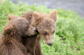 Grizzly bear cubs — Stock Photo