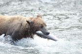 Alaskan brown bear with salmon in its mouth — Stock Photo