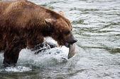 Alaskan brown bear with salmon — Stock Photo
